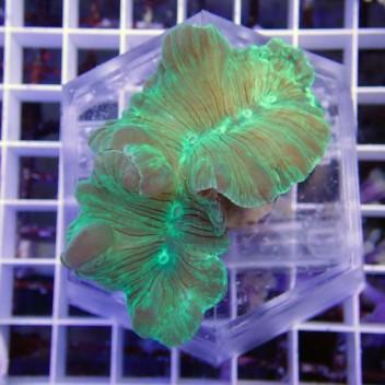 Nemenzophyllia turbida vert nemen1