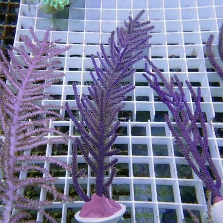 Gorgone symbiotique Muriceopsis gorgone65