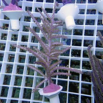 Gorgone symbiotique pseudopterogorgia gorgone67