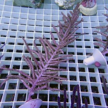 Gorgone symbiotique pseudopterogorgia gorgone69
