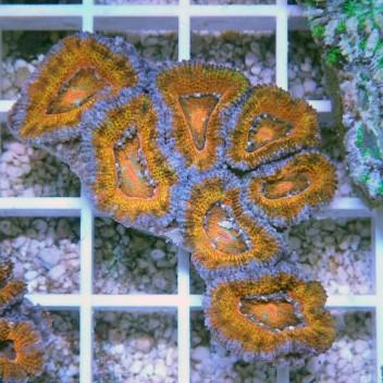 Acanthastrea lordhowensis AL650