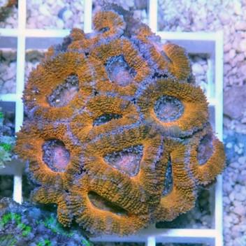 Acanthastrea lordhowensis AL654