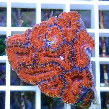 Acanthastrea lordhowensis AL667