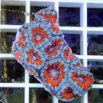 Acanthastrea lordhowensis AL668