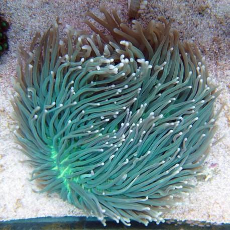 Heliofungia australie vert helio26