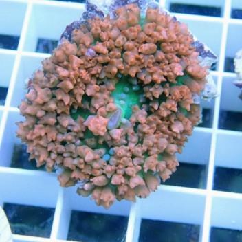 Rhodacthis osculifera saint-thomas6 rouge RARE
