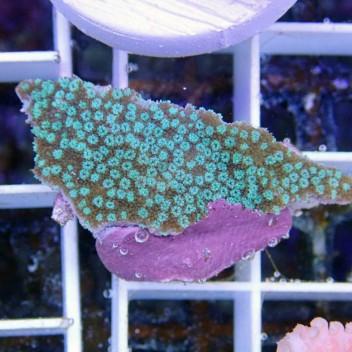 Montipora sp vert polype bleue monti447