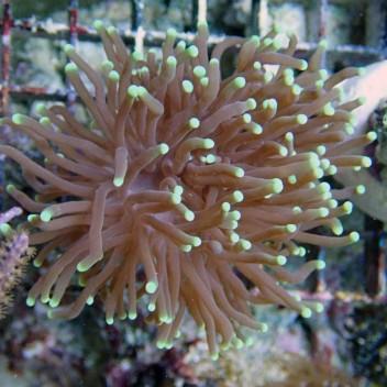 Euphyllia glabrescens euphy415