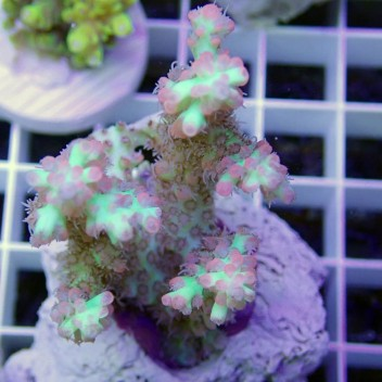 Acropora microclados strawberry shortacke acro7401