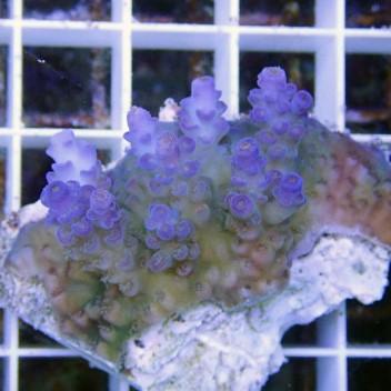 Acropora tenuis bleu acro7423