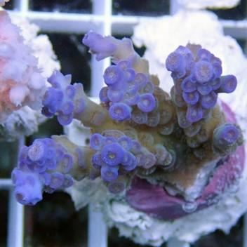 Acropora tenuis bleu acro7424