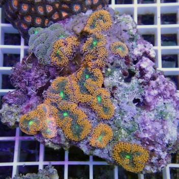 Ricordea floridae orange RF139