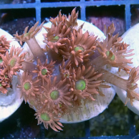 Goniopora rouge coeur vert gonio193