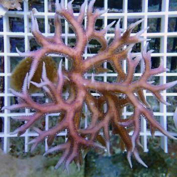 Seriatopora hystrix SH170