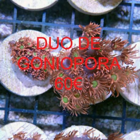 Goniopora rouge coeur vert gonio197