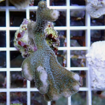 Montipora digitata rouge monti463