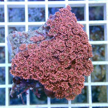 Goniopora rouge gonio198