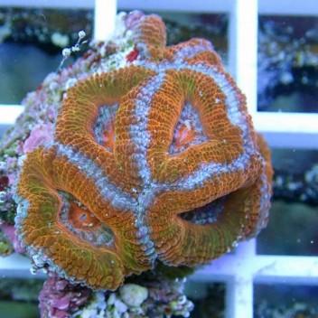 Acanthastrea lordhowensis AL681