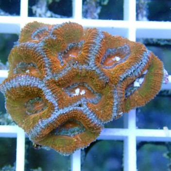 Acanthastrea lordhowensis AL687