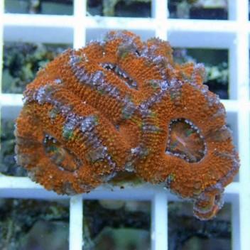Acanthastrea lordhowensis AL698