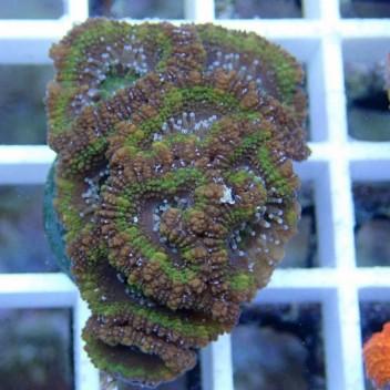 Acanthastrea lordhowensis AL700