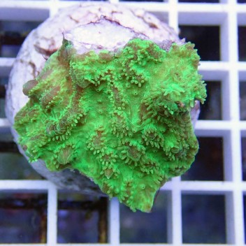Hydnophora vert hydno19 DNZ