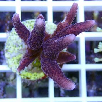 Seriatopora hystrix polype vert SH174