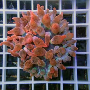 Entacmea quadricolor rouge M entac39