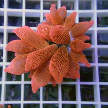 Entacmea quadricolor rouge entac40