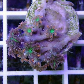 clavularia tricolor clavu20