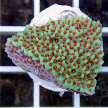 Montipora sp polype rouge monti470