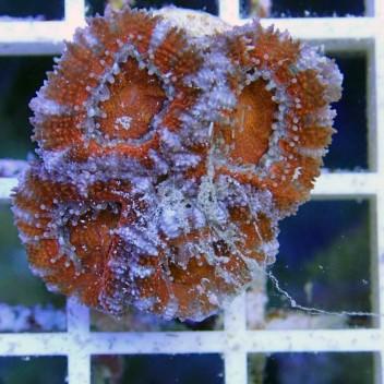 Acanthastrea lordhowensis AL708