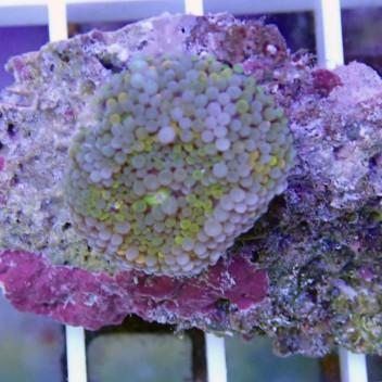 Ricordea floridae RF142