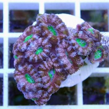 Acanthastrea lordhowensis ultra AL739