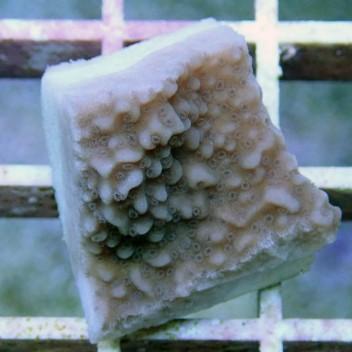 Montipora sp frag australie monti480