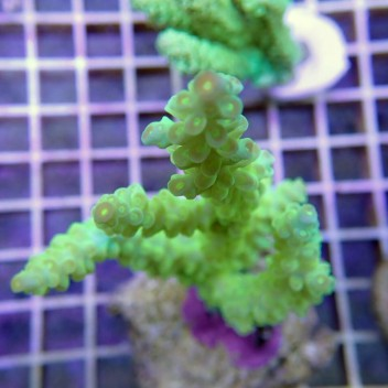 Acropora batunai acro7372
