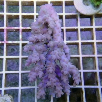 Acropora sp violet acro7445