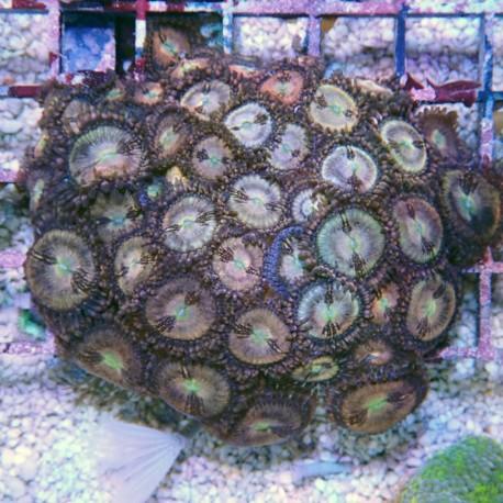 Zoanthus sakura Z570