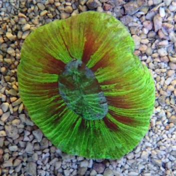 Trachyphyllia vert trachy40