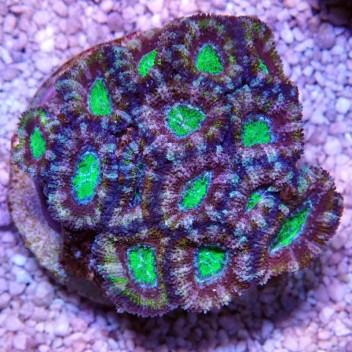 Acanthastrea lordhowensis ultra AL740