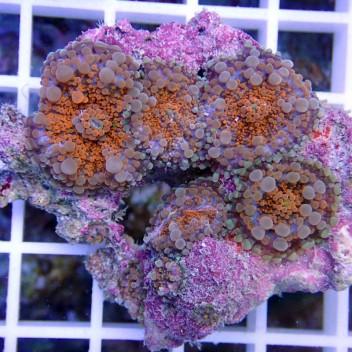 Ricordea yuma orange ry139
