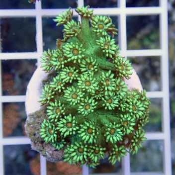 Goniopora vert gonio221