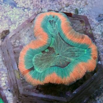 Trachyphyllia ultra trachy33