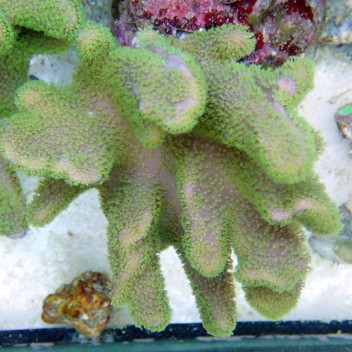 sarcophyto polype vert fluo L Australie sarco81