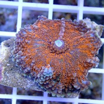 Ricordea yuma orange ry141