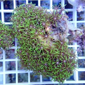 Pachyclavularia vert pachy48