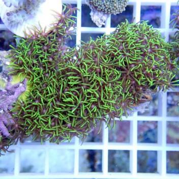 Pachyclavularia vert pachy50