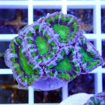 Acanthastrea lordhowensis AL747