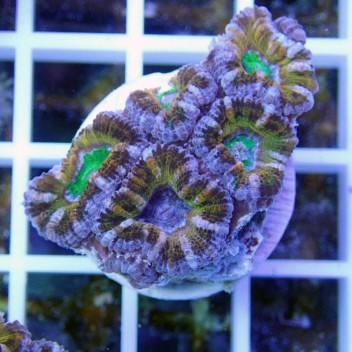 Acanthastrea lordhowensis ultra AL756