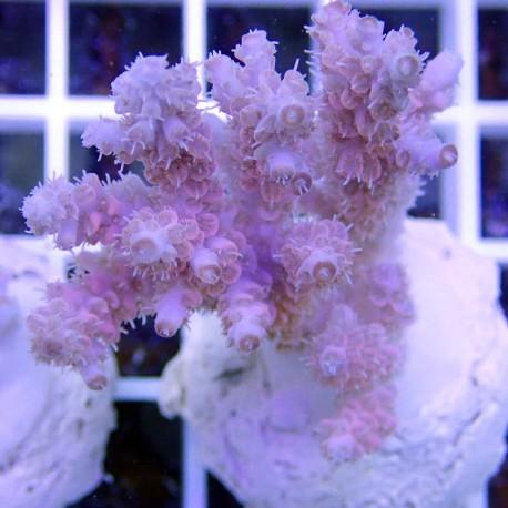 Acropora hyacinthus bleu rose pastel acro7829